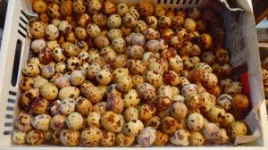 quail eggs? I think...